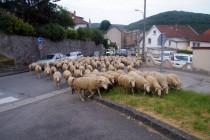 Transhumance – Au rythme des moutons de Neufchef à Nilvange en passant par Hayange
