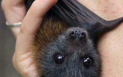 baby-fruit-bat