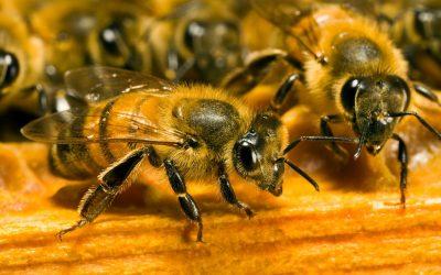 abeilles-dans-ruche