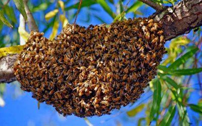 909_essaim-abeille
